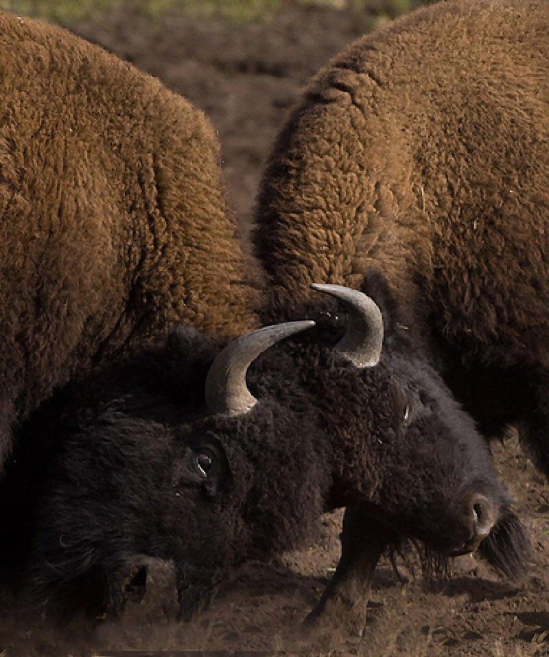 buffalo2015